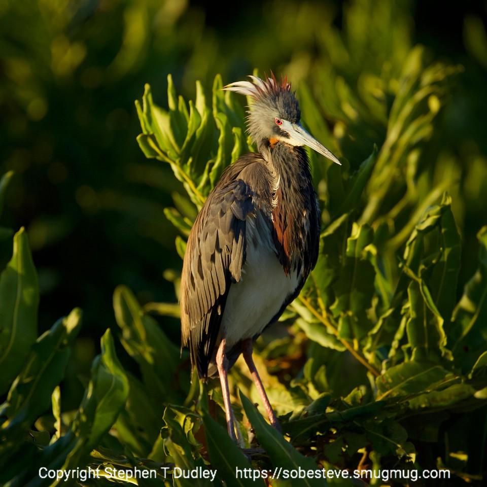 Nesting Tri-color heron 3