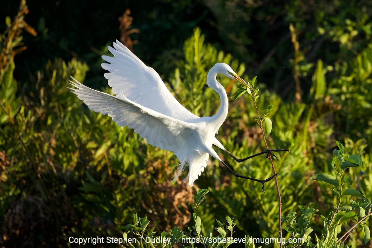 Great Egret landing 2