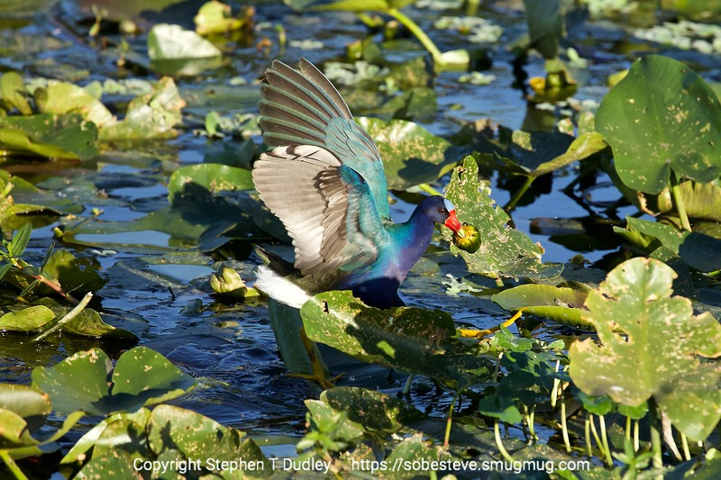 Purple Gallinule 3