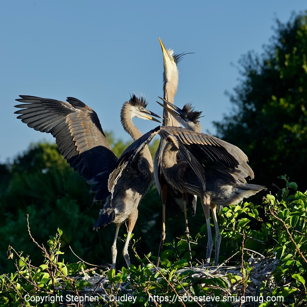 Great Blue Herons 2
