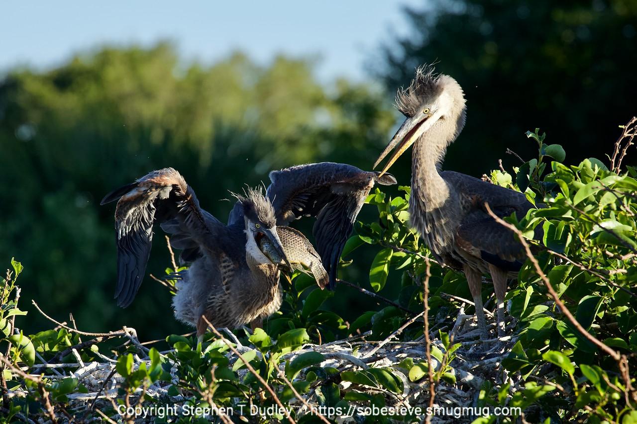 Great Blue Heron chicks & fish