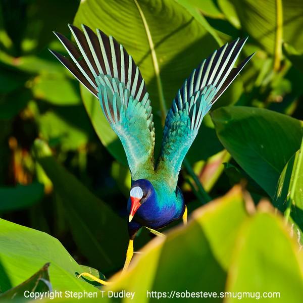 Purple Gallinule wing flex