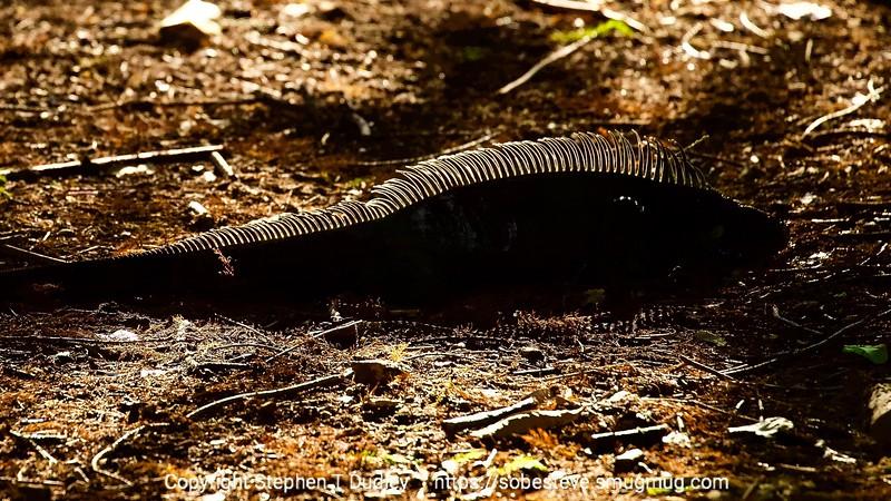 Backlit Lizard