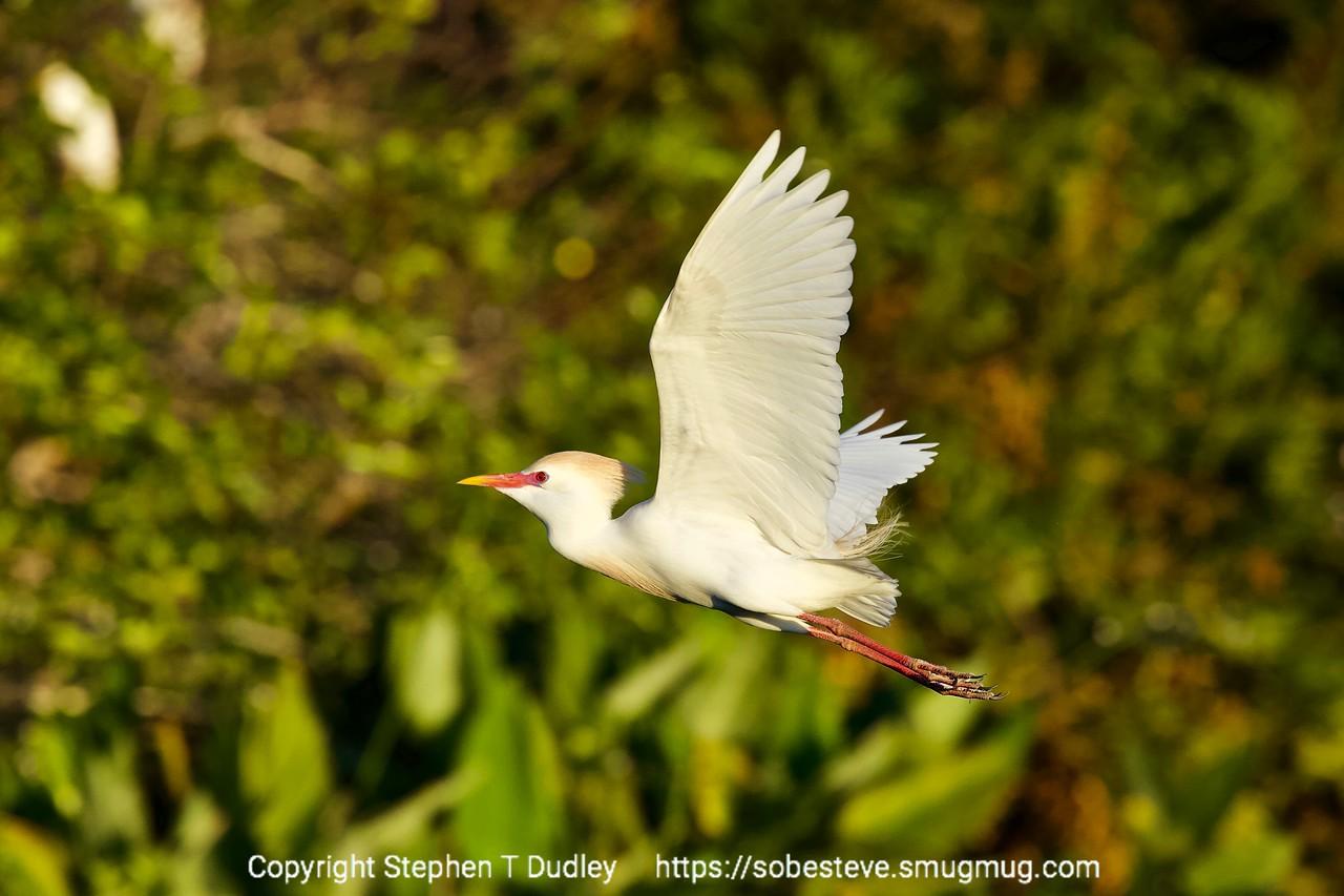 Cattle Heron in flight 2