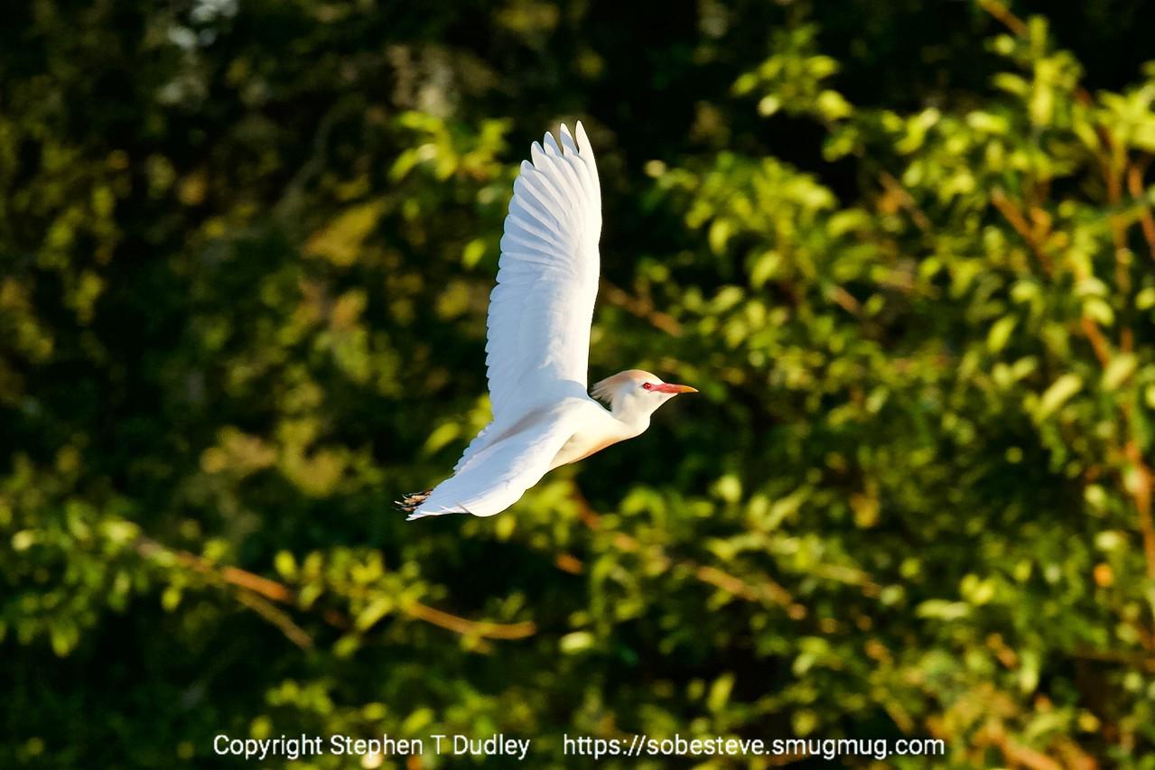 Cattle heron in flight