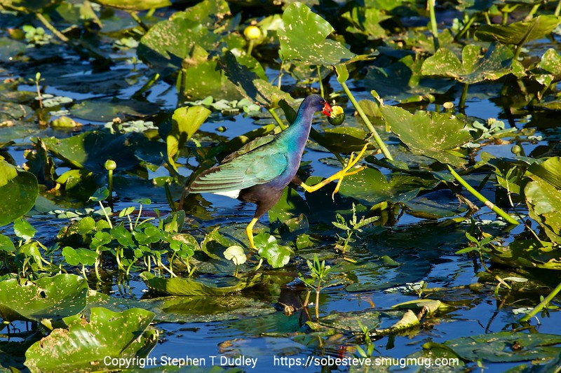 Purple Gallinule 5