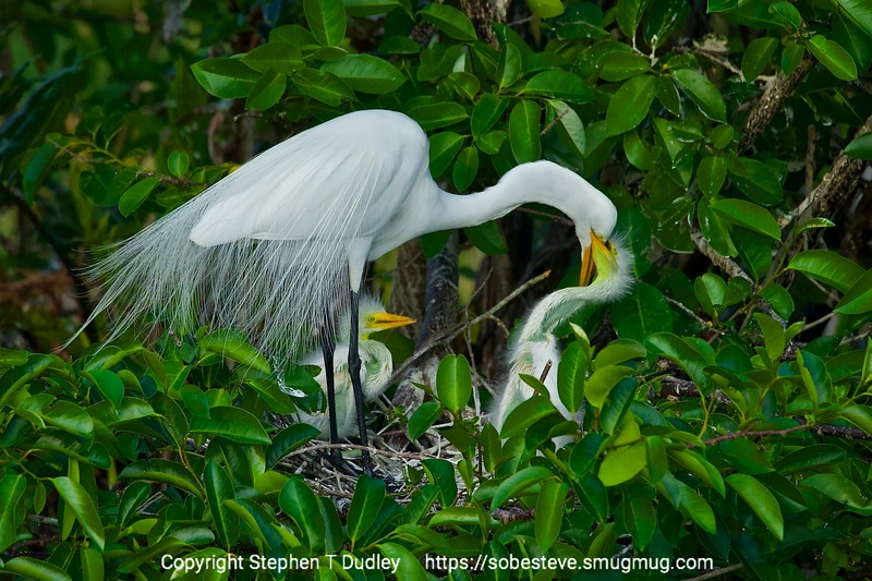 great egret chick watches