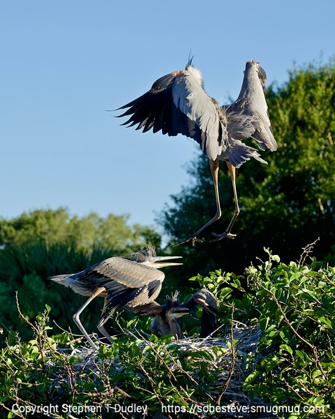 Great Blue Heron lands in nest