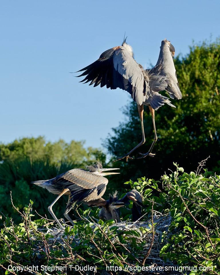 Great Blue Heron lands in nest