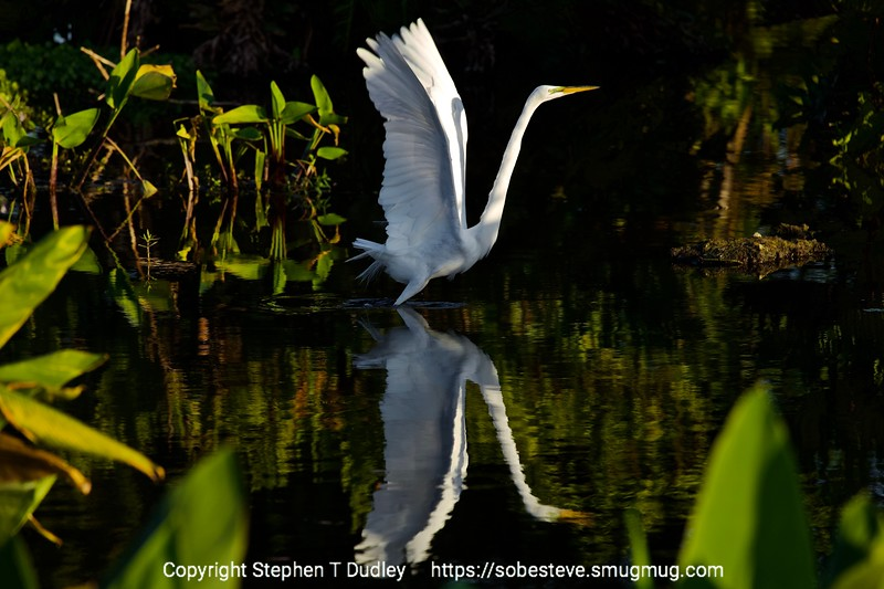 Great Egret on take-off