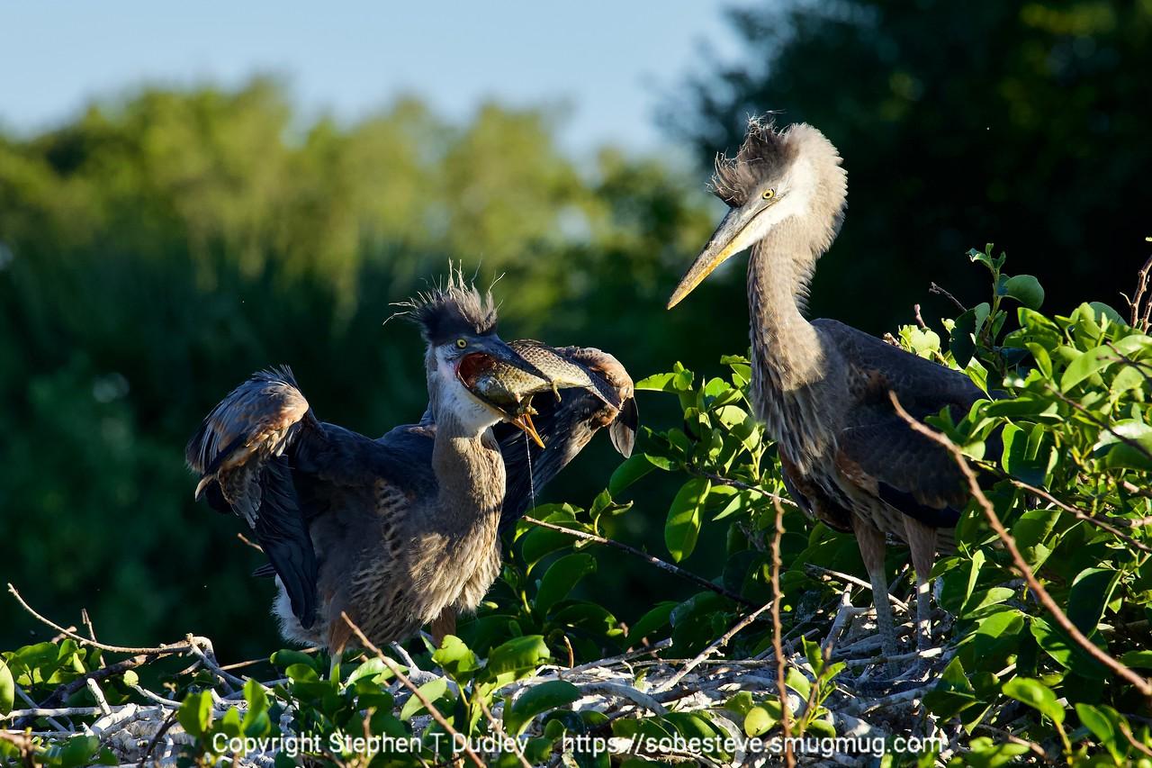 Great Blue Herons chicks & fish 3