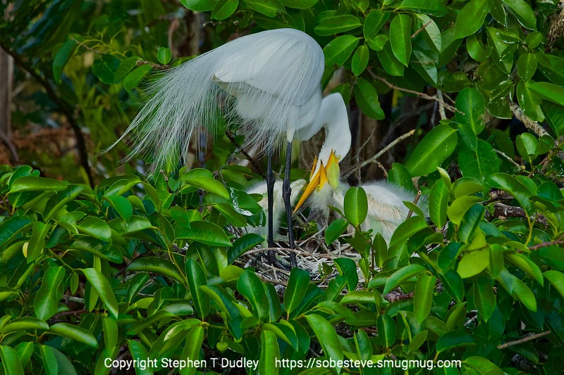 two great egret chicks feeding