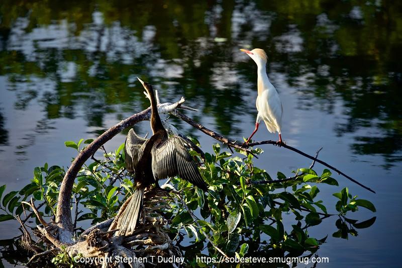 Anhinga & Cattle Heron