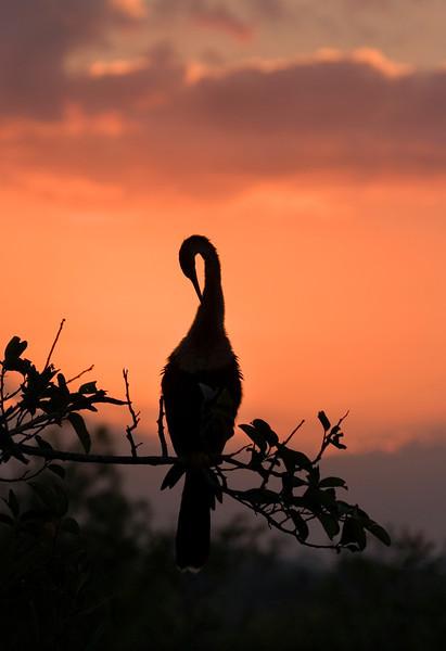 Anhinga Sunrise