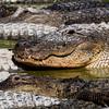 Alligator 9967