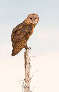 Barn Owl at Twilight