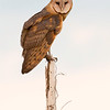 Barn Owl at Twilight