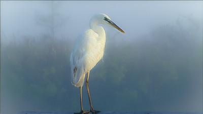 Foggy Egret