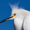 Snowy Egret 6267