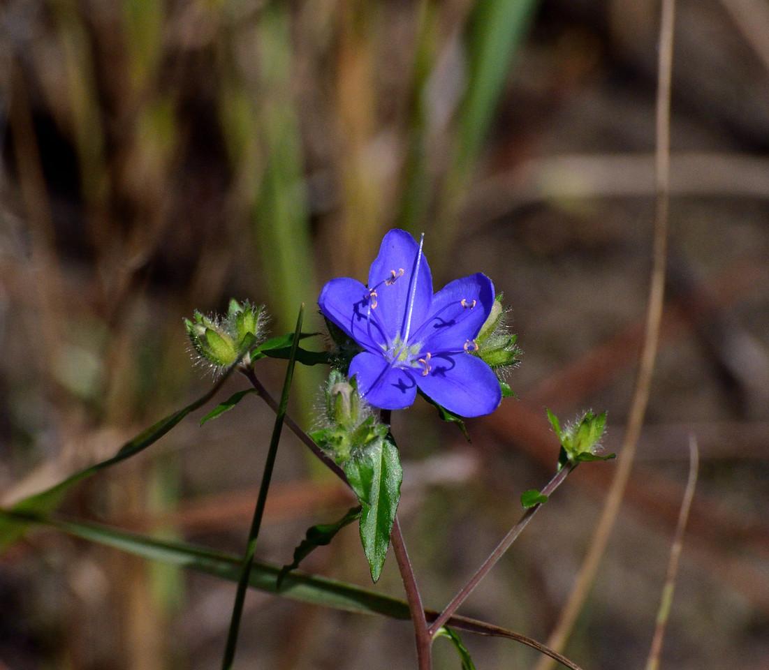 delicate Sky Flower : Hydrolea corymbosa