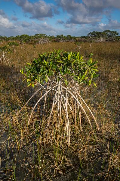 Dwarf Mangrove