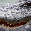 Alligator Close-up I