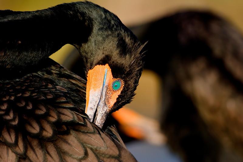 Double-crested Cormorant II