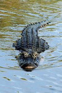 Everglades N P - G2 (109)