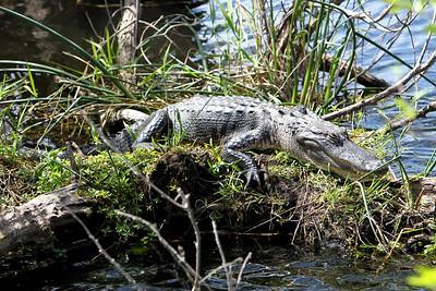 Everglades N P - G2 (62)