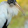 Wood Stork - Anhinga Trail, Everglades National Park - January 2012