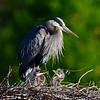 Great Blue Heron w/ young - Wakodahatchee Wetlands - February 2011