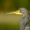 Tricolored Heron - Green Cay Wetlands - October 2011