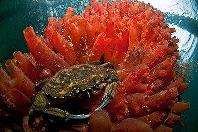 krabba och sj+Âpung