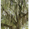 SPANISH MOSS - Flamingo, Florida