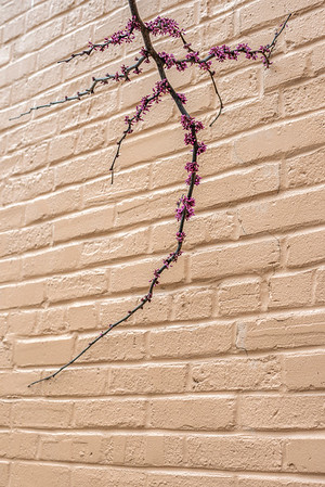 Branch Of A Redbud Tree