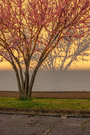 Last Light On Redbud Tree