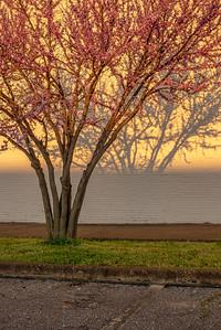 Last Light On Redbud Tree