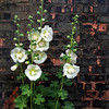 Hollyhocks and Bricks