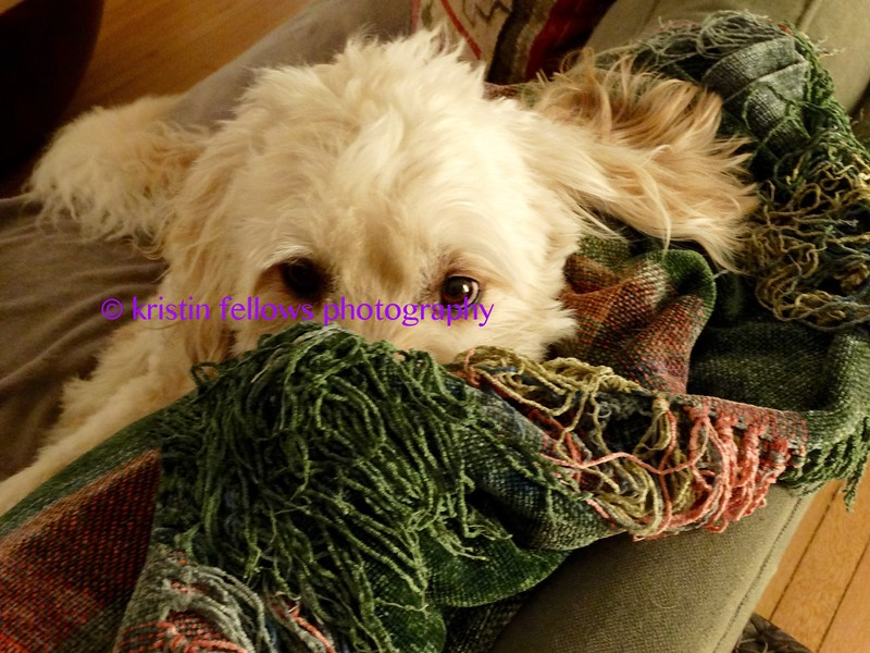 dogs in blankets
