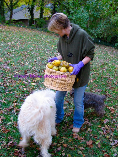the fall harvest ~ gathering apples with klejne & bandit