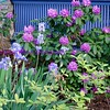 irises & rhododendrons