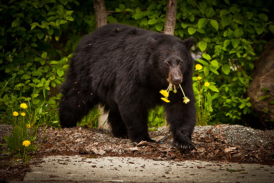 Black bear in Whistler, Canada enjoying his lunch