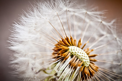 Macro shot of a Dandelion
