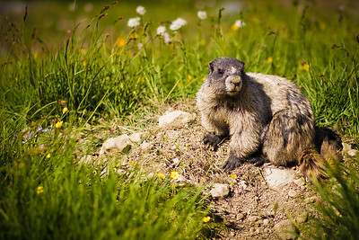 The iconic whistling Hoary Marmot, photographed at Russet lake, Canada