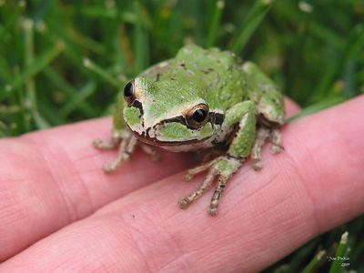 Natalie holds an Oregon Tree Frog
