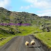trying to outrun us, on the road to ófærufoss in central iceland