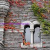 virginia creeper on gray stone