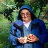 Freshly picked peaches, Croatia