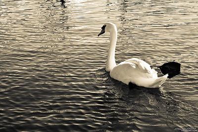 Vintage Swan, Lindenhurst Canal