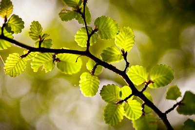 Myrtle leaf